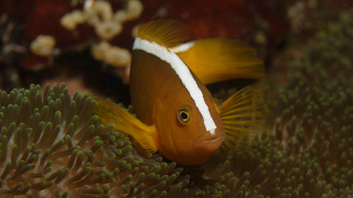 Damselfish - Orange Anemonefish - Amphiprion sandarcinos