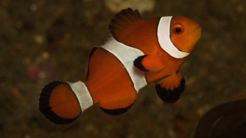 Damselfish - False Clown anemone fish - Amphiprion ocellaris