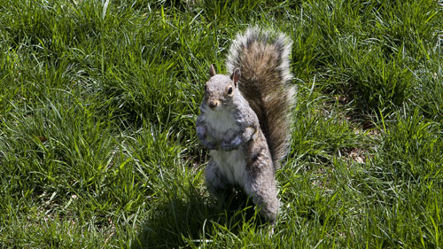 Squirrel - New York - United States - Park - Central Park