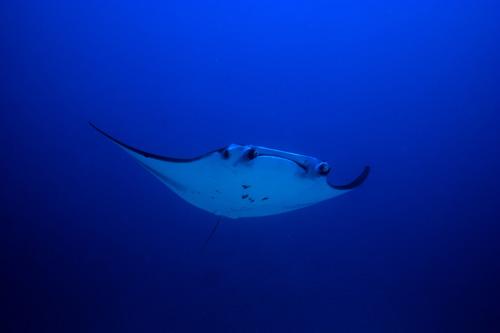 Giant Manta - Maldives