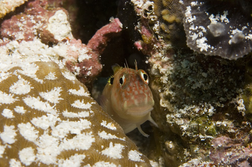 Fish - Eared Blenny - Cirripects auritus