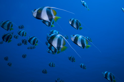 Maldives - Schooling Bannerfish - Heniochus diphereutes