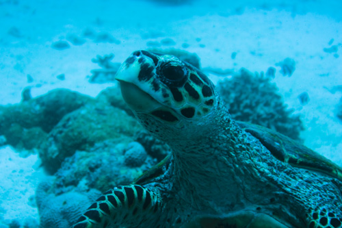Maldives - Turtle - E.T.