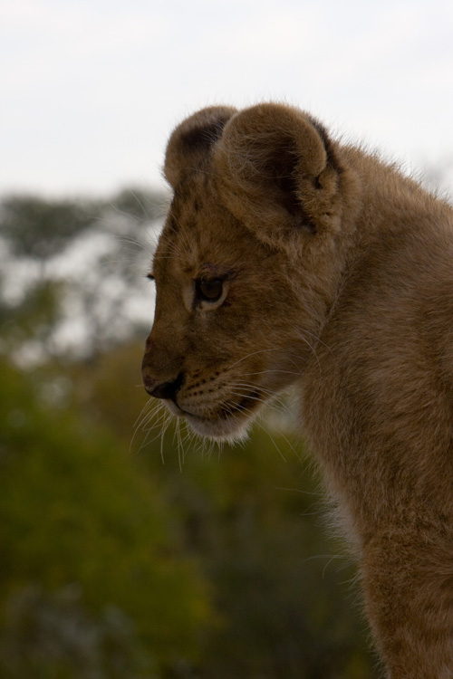 Baby Lion at Tschukudu