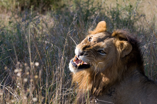 Male Lion looking agresively