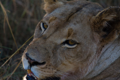 Female Lion close up